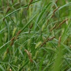 Carex hirta