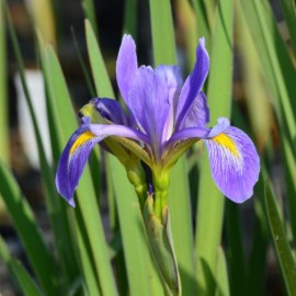 Iris virginica 'Purple Fan'
