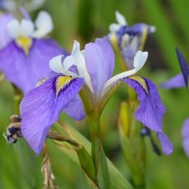 Iris biversata 'Enfant Prodige'