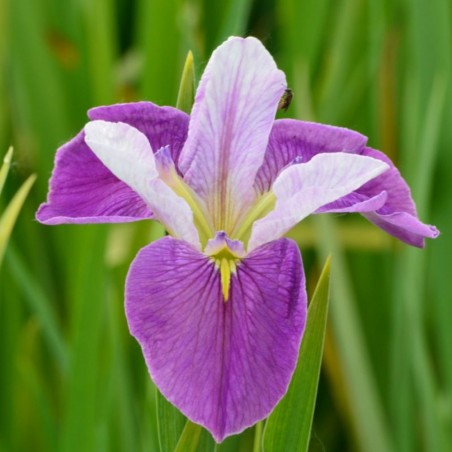 Iris louisiana 'Colorific'