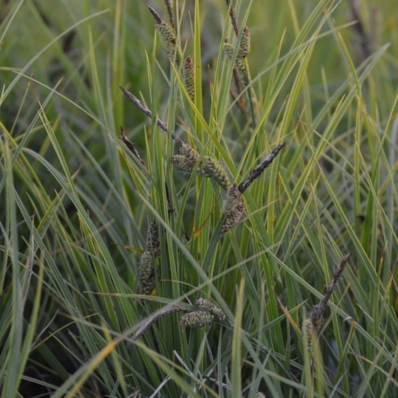 Carex nigra 'On Line'