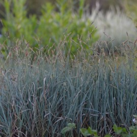 Carex panicea
