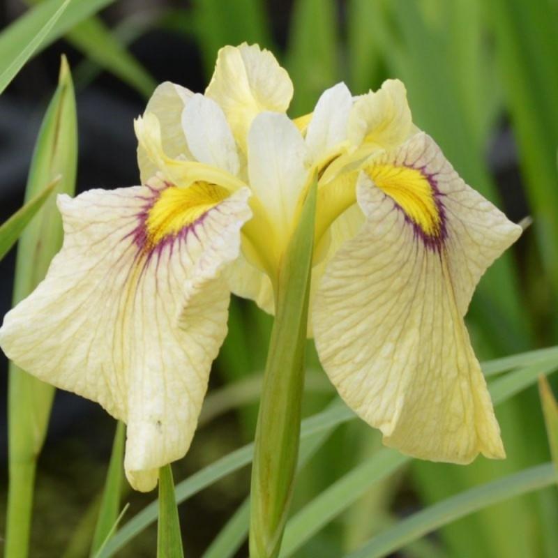 Iris pseudata 'Hatsuho'