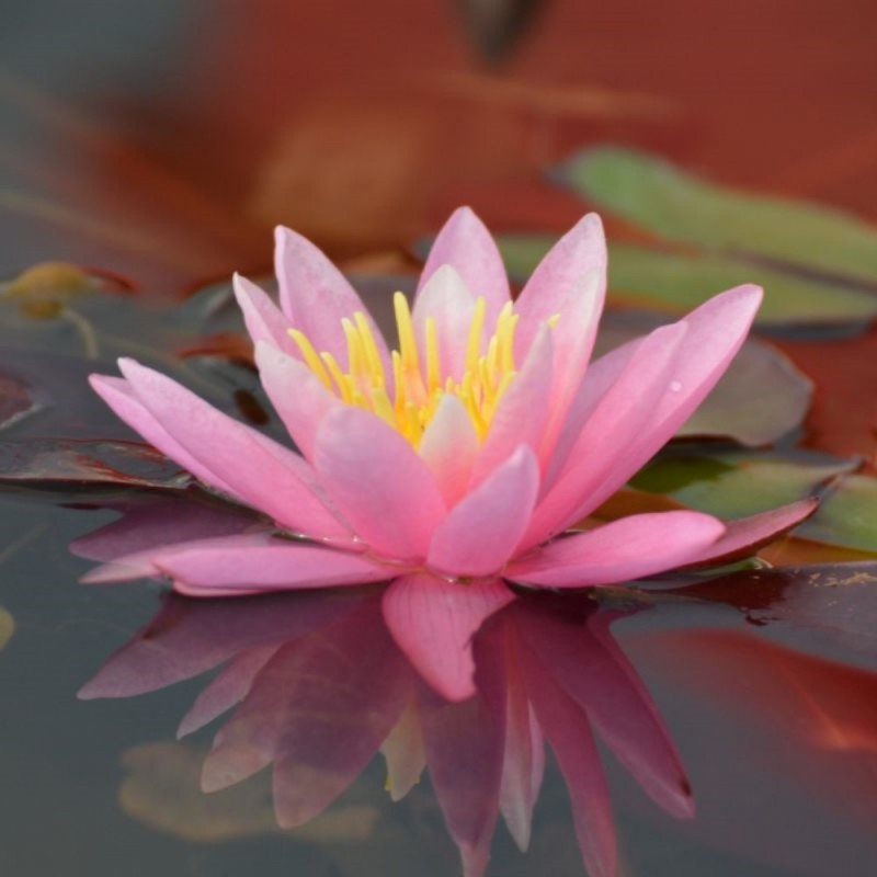 Ninfea 'Pink Sensation'