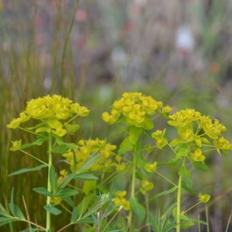 Euphorbia palustris 'Walenburg's Glorie'
