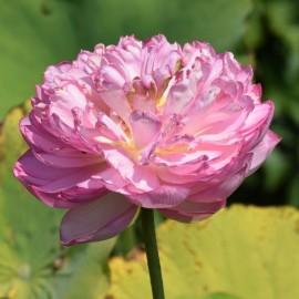 Nelumbo 'Duplicate Pink'
