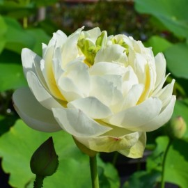 Nelumbo 'White Pear Flower'