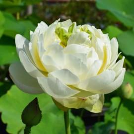 Nelumbo 'White Pear Flower'