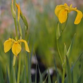 Iris pseudacorus 'Roccapina'