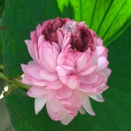 Nelumbo 'Thousand Petals'