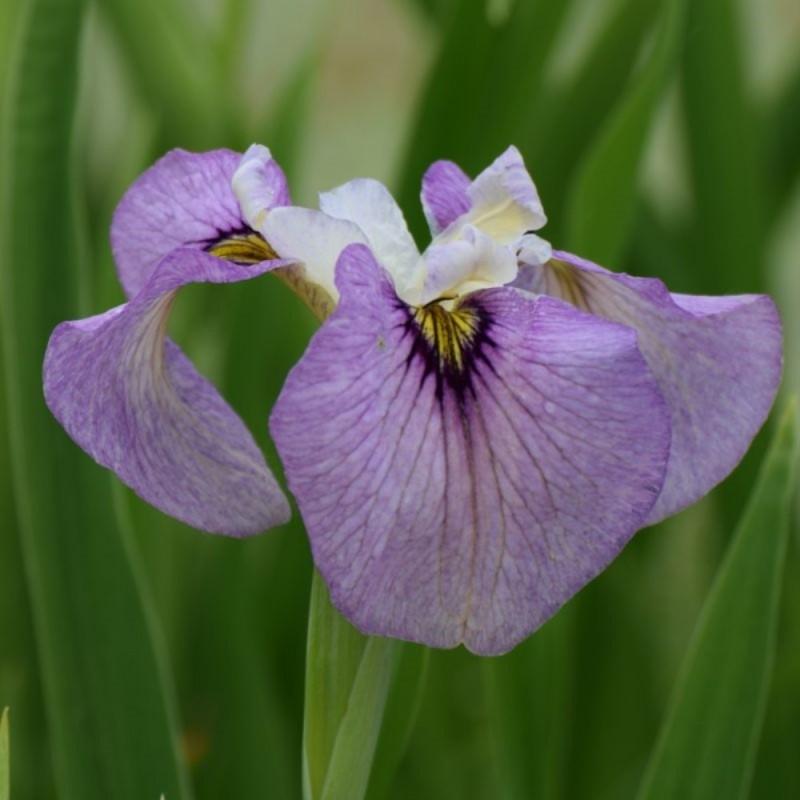 Iris pseudata 'Pixie Won'