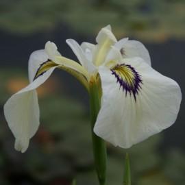 Iris pseudata 'Shirabyoshi'