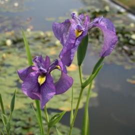 Iris pseudata 'Shiryukyo'