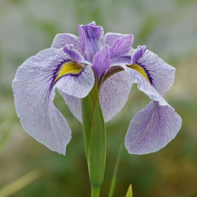 Iris pseudata 'Takamagahara'