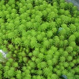 Myriophyllum x mattogrossense 'Red Stem'
