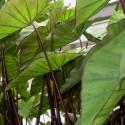 Colocasia esculenta 'Violet Stem'