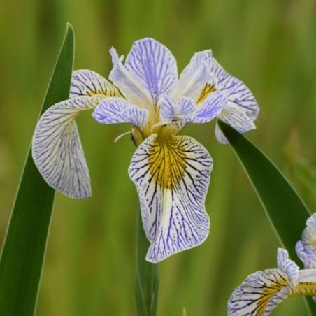 Iris spec-x 'Roy's Lines'