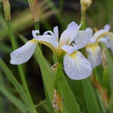 Iris spec-x 'Between The Lines'