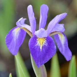 Iris virginica 'Sumpfprinzessin'