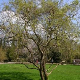 Salix matsudana 'Tortuosa'