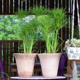 Cyperus papyrus 'Percamenthus'