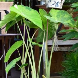 Colocasia esculenta ' Lime Aide'