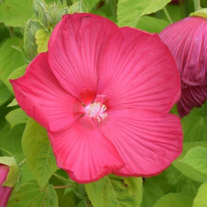 Hibiscus moscheutos 'Rosy Red'
