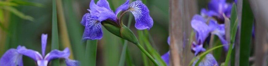 Altre specie e varietà di iris acquatici e palustri