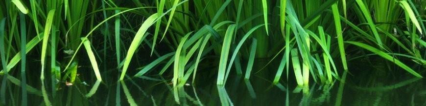 Piante palustri - Produzione e vendita di piante palustri, ninfee e fior di loto.