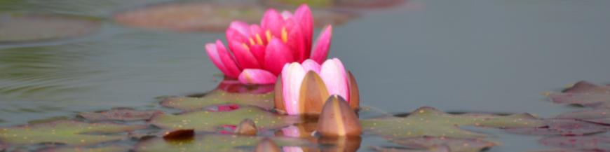 Ninfee piccole per mastelli e tinozze - Vivaio piante acquatiche - Vendita piante d'acqua