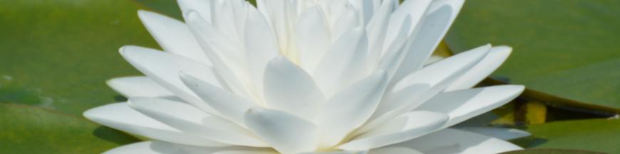 Ninfee rustiche a fiore bianco - Produzione e vendita ninfee bianche - biolaghi