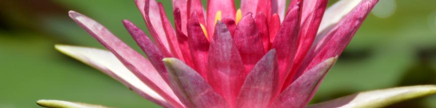 Ninfee a fiore rosso