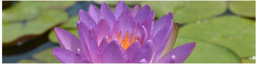 Ninfee a fiore viola