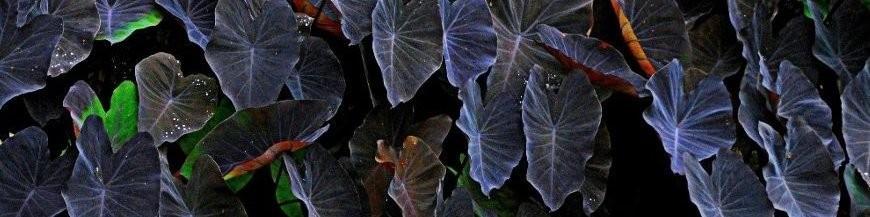 piante acquatiche tropicali e subtropicali