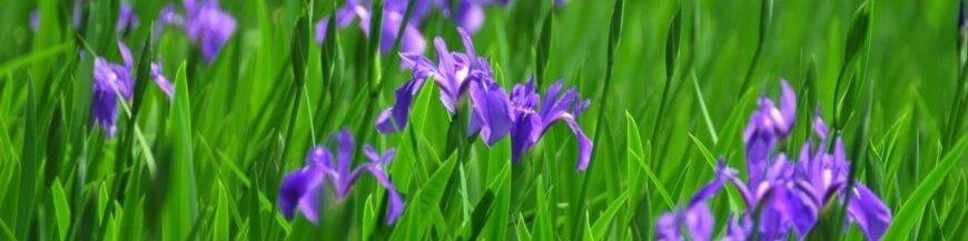 Iris per terreni umidi - iris bordo laghetto