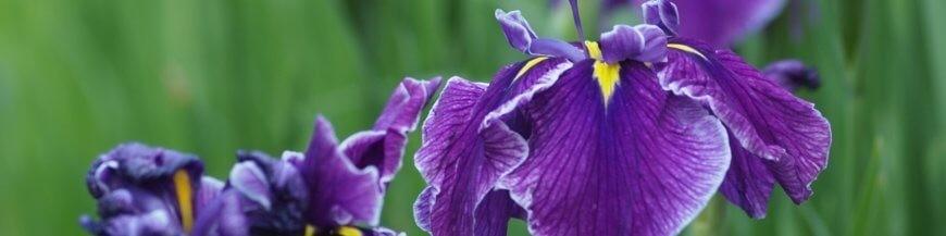 Water and marsh Iris