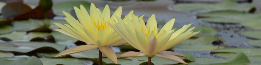 Ninfee a fiore giallo - Produzione e vendita ninfee, fiori di loto, piante palustri, piante per laghetto.