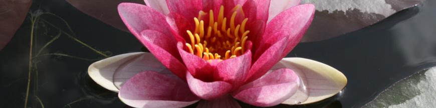 Ninfee a fiore sfumato