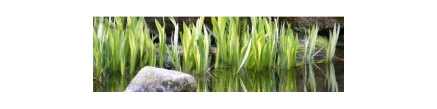 Iris kaempferi - syn Iris ensata