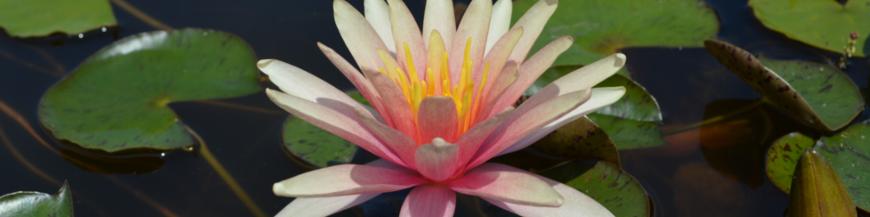 Ninfee a fiore cangiante