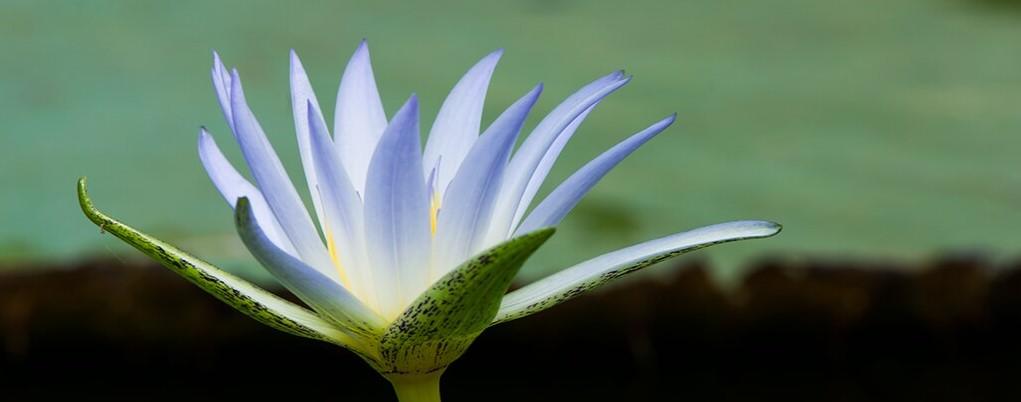 Ninfea blu - Nymphaea caerulea