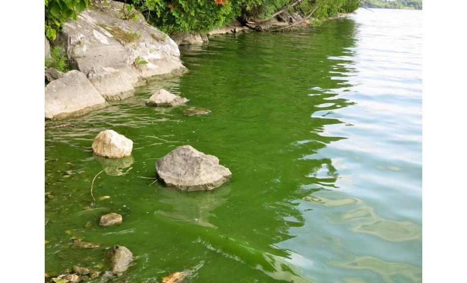 Perché l'acqua diventa verde nel laghetto