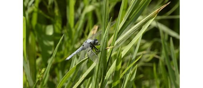 Cose incredibili e che non avresti mai immaginato sulle libellule