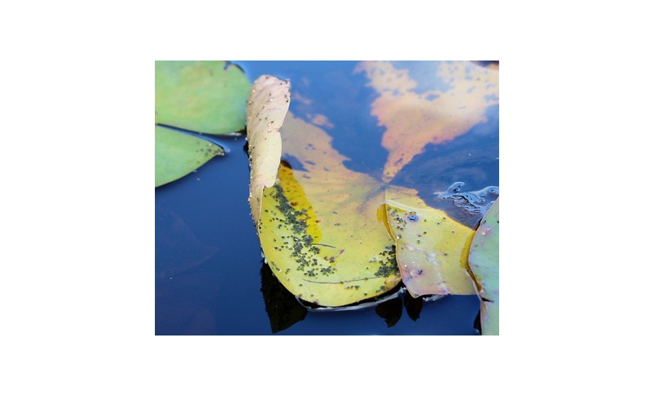 Aphids on water lilies